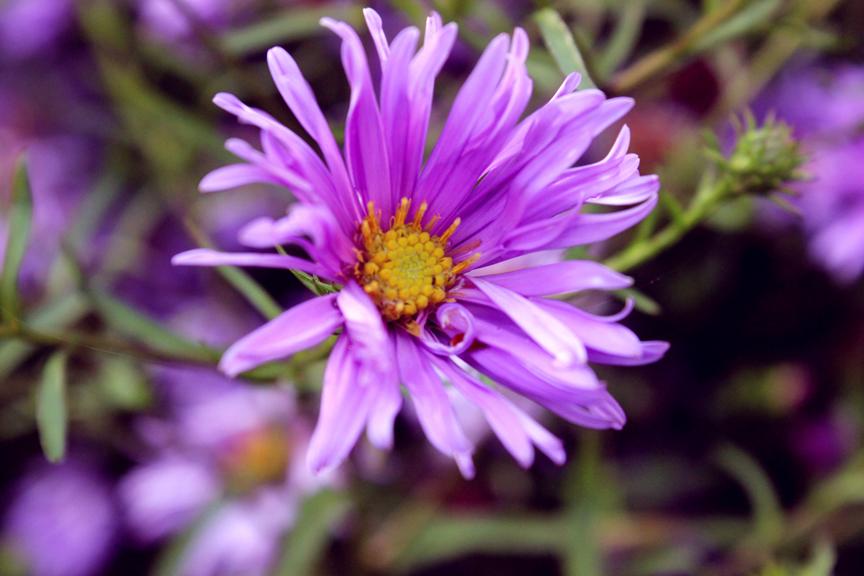 violettikakkara